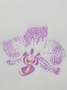 Pencil drawing of a purple and white orchid flower
