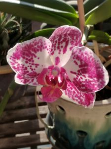 Photo of a pink and white orchid blossom.